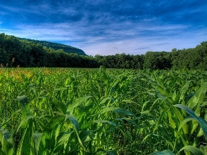 Field, forest, Sky, corn-cob