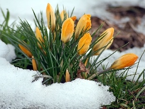 yellow, Spring, snow, blur, crocus, clump