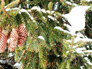 Twigs, cones, snow, spruce