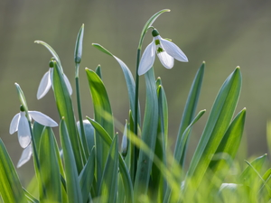 blooming, White, Flowers, snowdrops