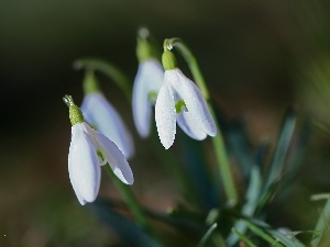 inclined, snowdrops