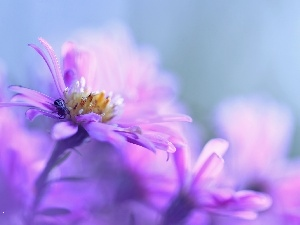 Aster, Colourfull Flowers, Spider, Violet