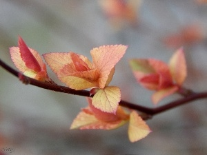 young, leaves, Spiraea, Red