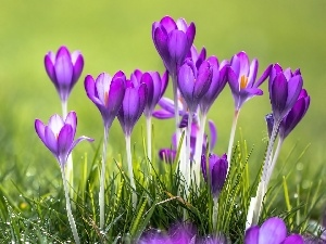 purple, Meadow, Spring, crocuses