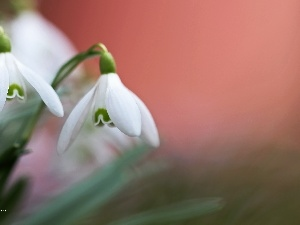 snowdrops, Flowers, Spring, White