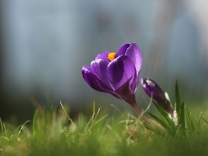 Violet, Colourfull Flowers, Spring, crocus