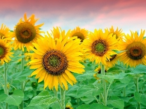 Sky, Nice sunflowers, stems