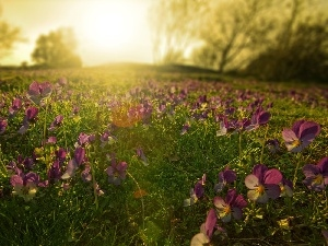 sun, Meadow, pansies