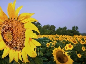 Field, Sunflower