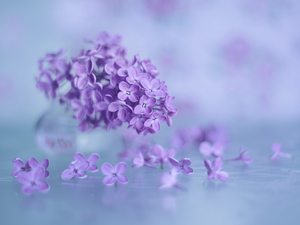 without, purple, Flowers, Syringa