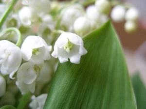 lily of the Valley, The May