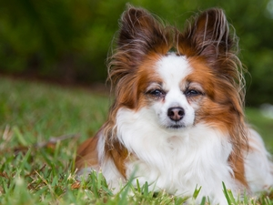 dog, Miniature Continental Toy Spaniel Papillon
