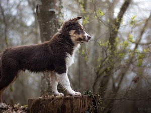 Australian Shepherd, dog, trees, viewes, trunk, Puppy