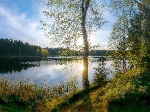 trees, viewes, birch-tree, forest, grass, lake, Spring, cane