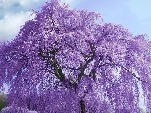 trees, flourishing, purple