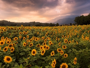 viewes, clouds, plantation, trees, Nice sunflowers