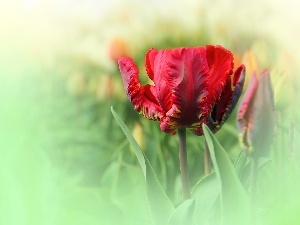 tulip, Red, frayed
