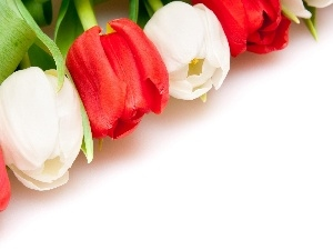 Tulips, white, Red