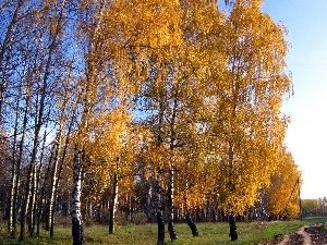 viewes, birch, forest, trees, Way