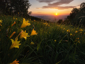 Hill, lilies, trees, grass, Flowers, Great Sunsets, viewes