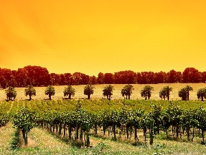 west, sun, Sapling, fruit, vineyard
