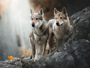 Two cars, Czechoslovakian Wolfdog, Rocks, Dogs