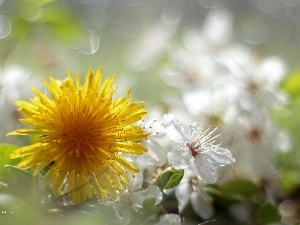 Colourfull Flowers, Common Dandelion, Yellow
