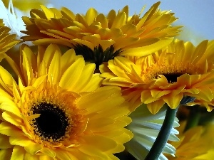 gerberas, Yellow