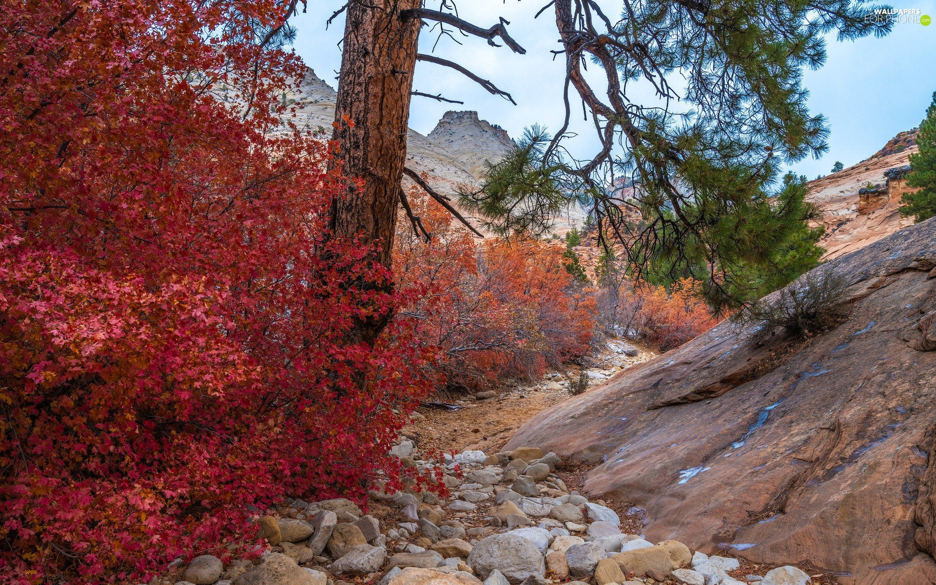 Utah State, Zion National Park, The United States, autumn, Red, Bush, VEGETATION, trees, rocks