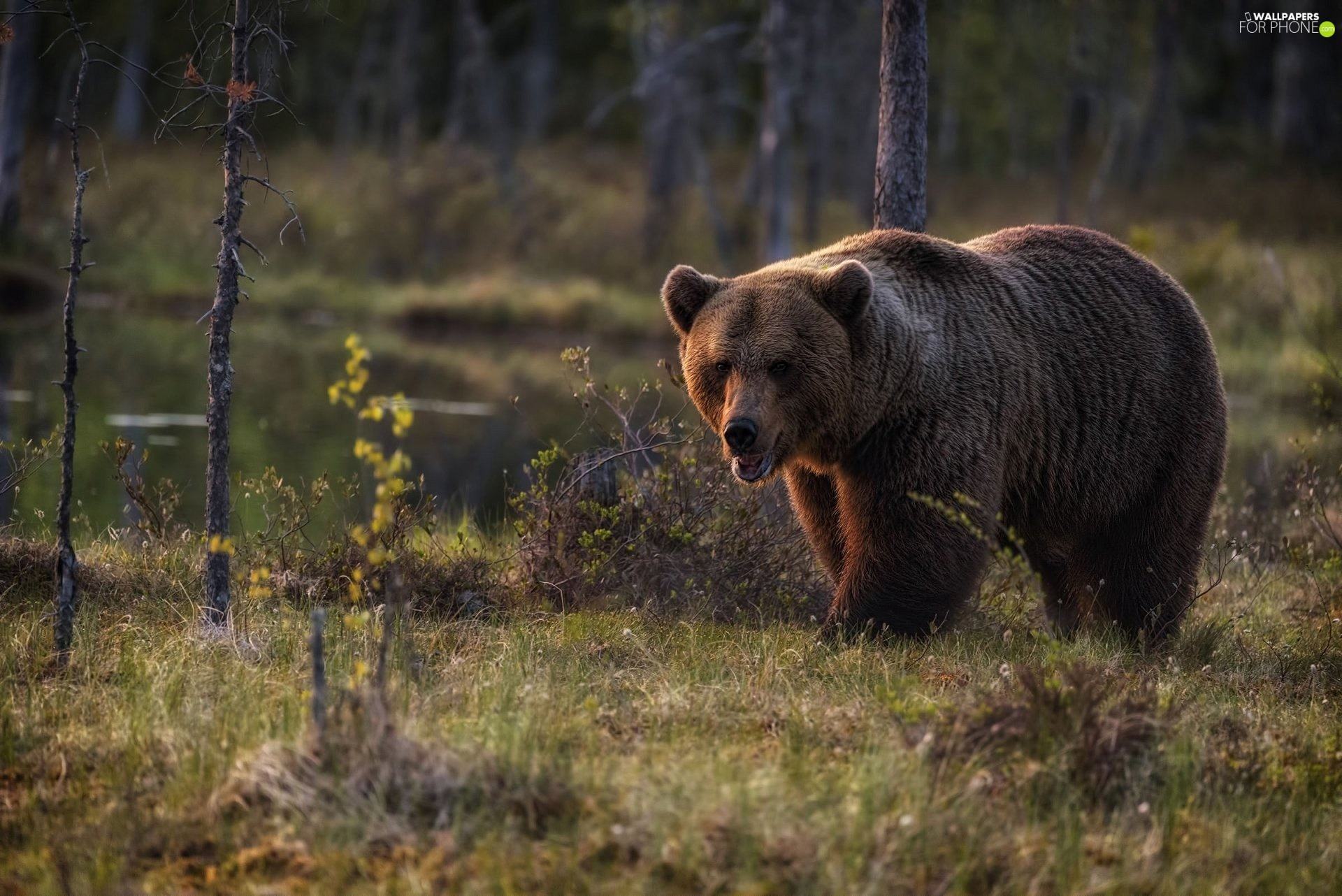 Brown bear, trees, viewes, forest