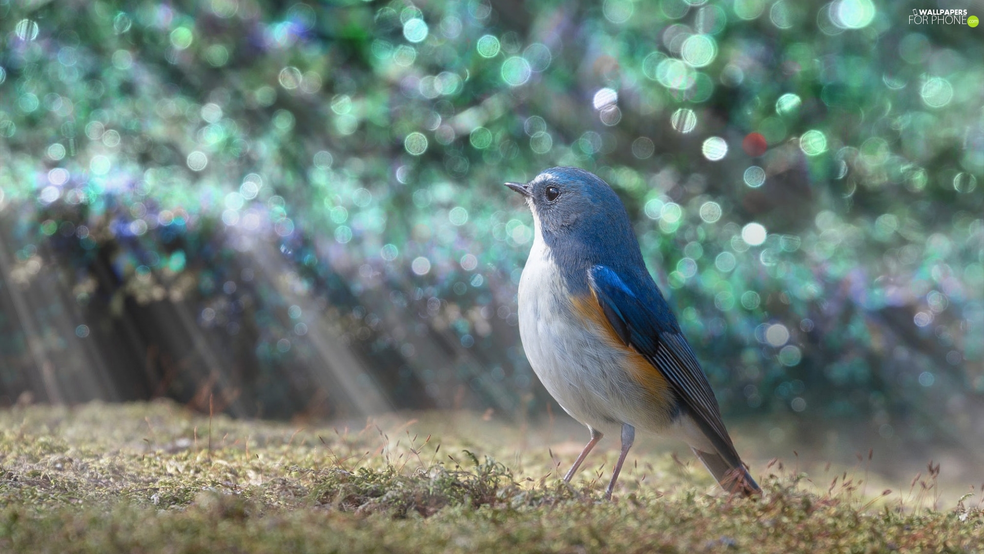 light breaking through sky, Bird, Red-flanked Bluetail