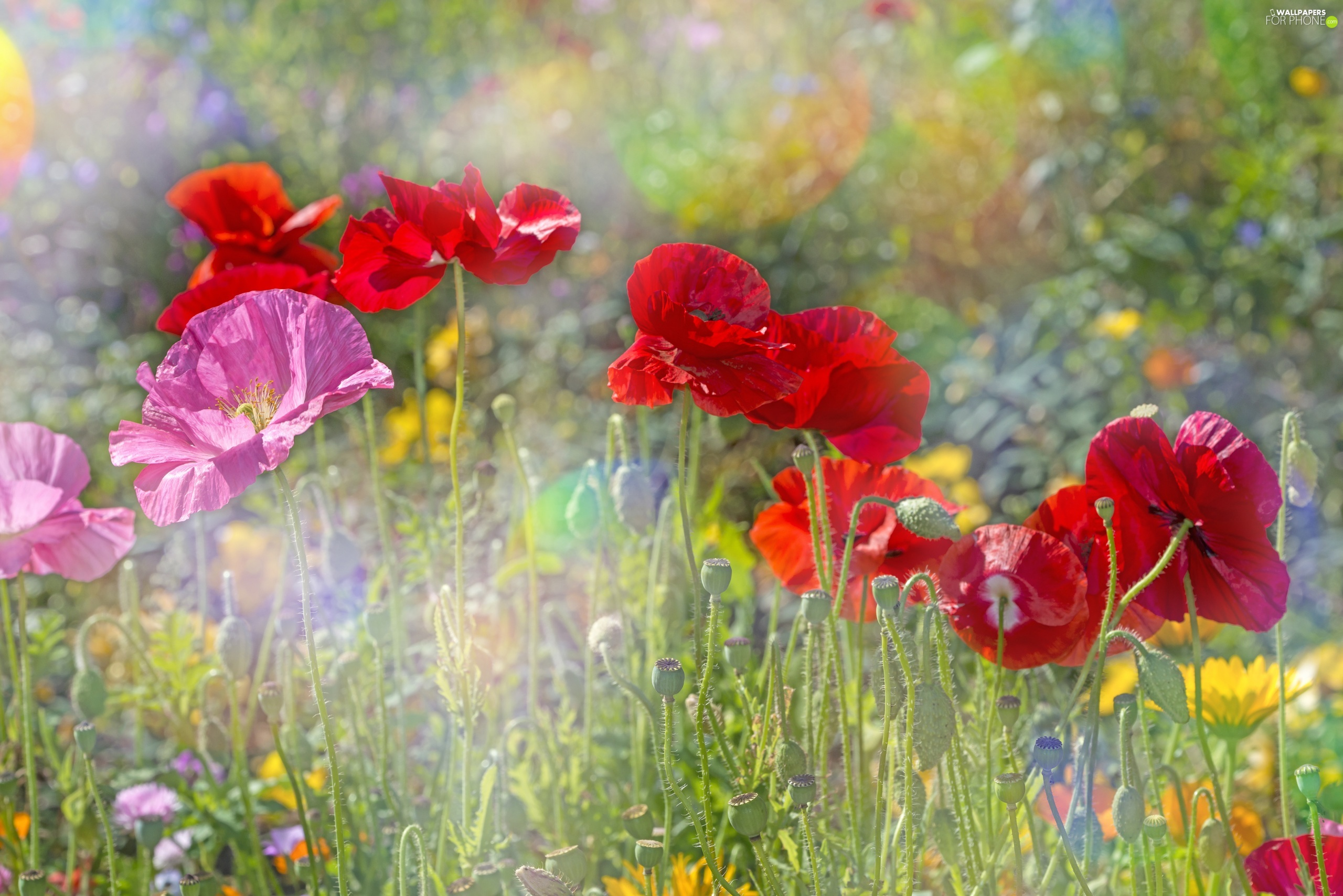 color, Meadow, blurry background, papavers