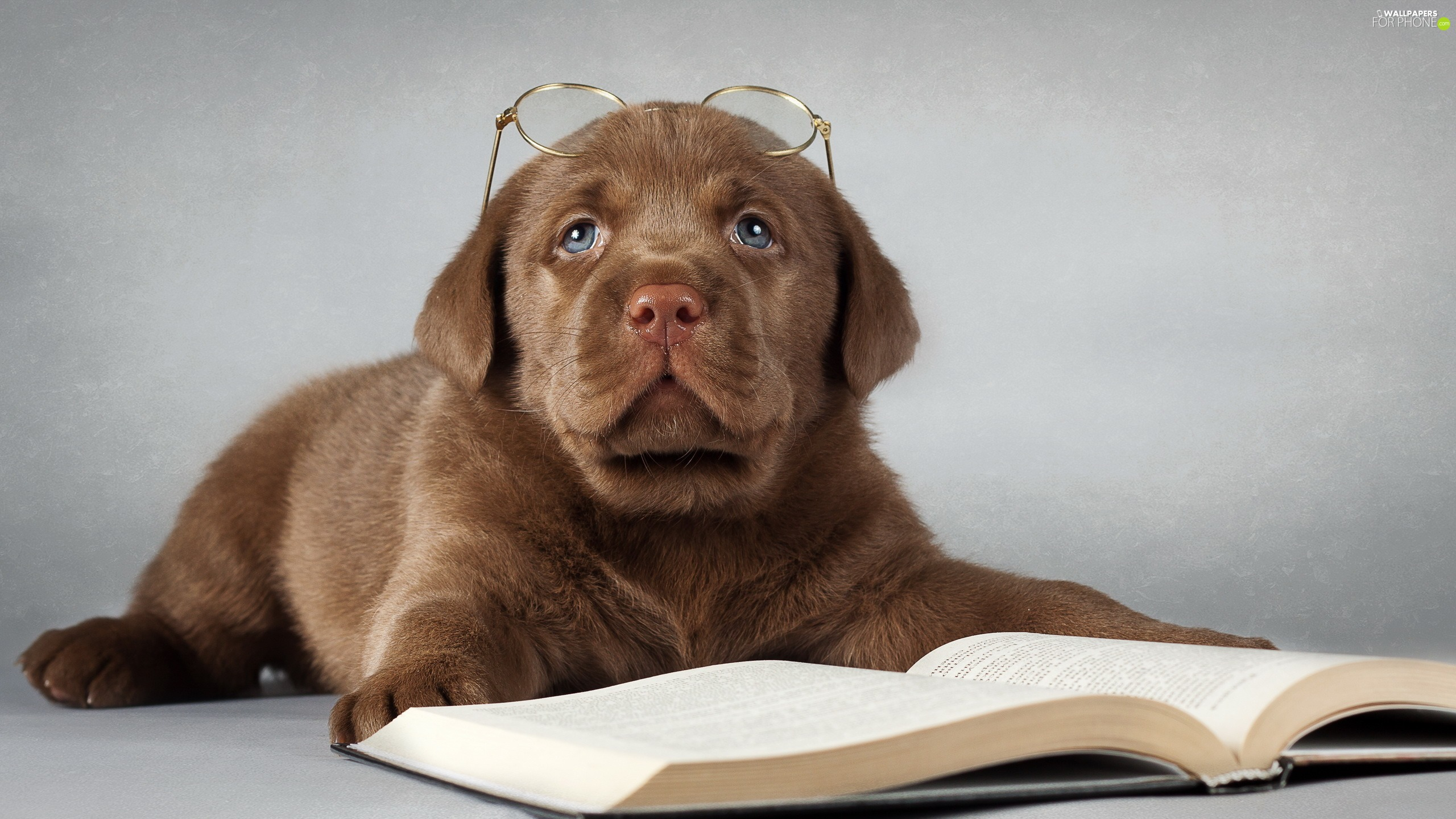 Book, Glasses, Puppy, Labrador Retriever, sad