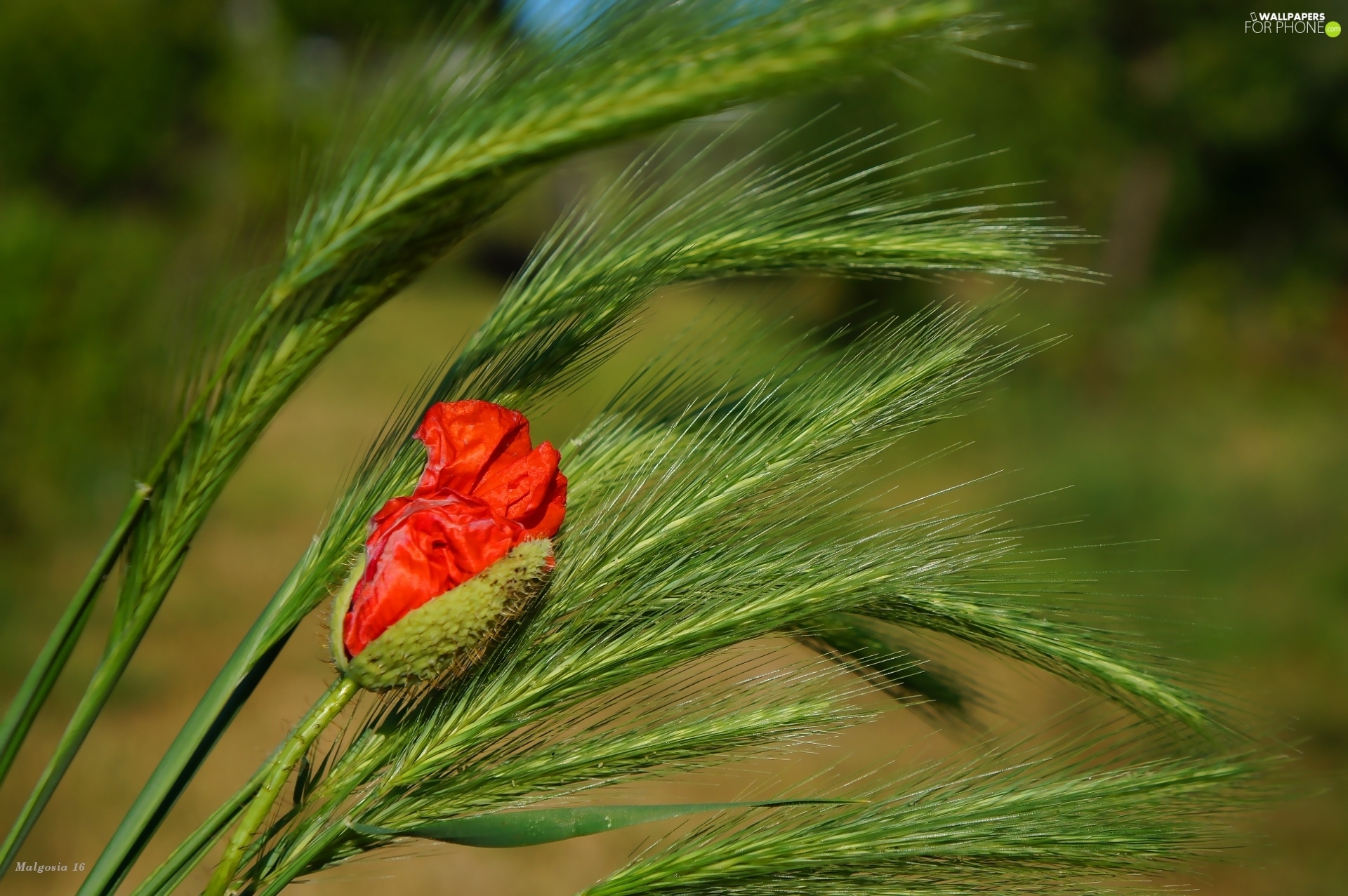 grass, red weed, bud
