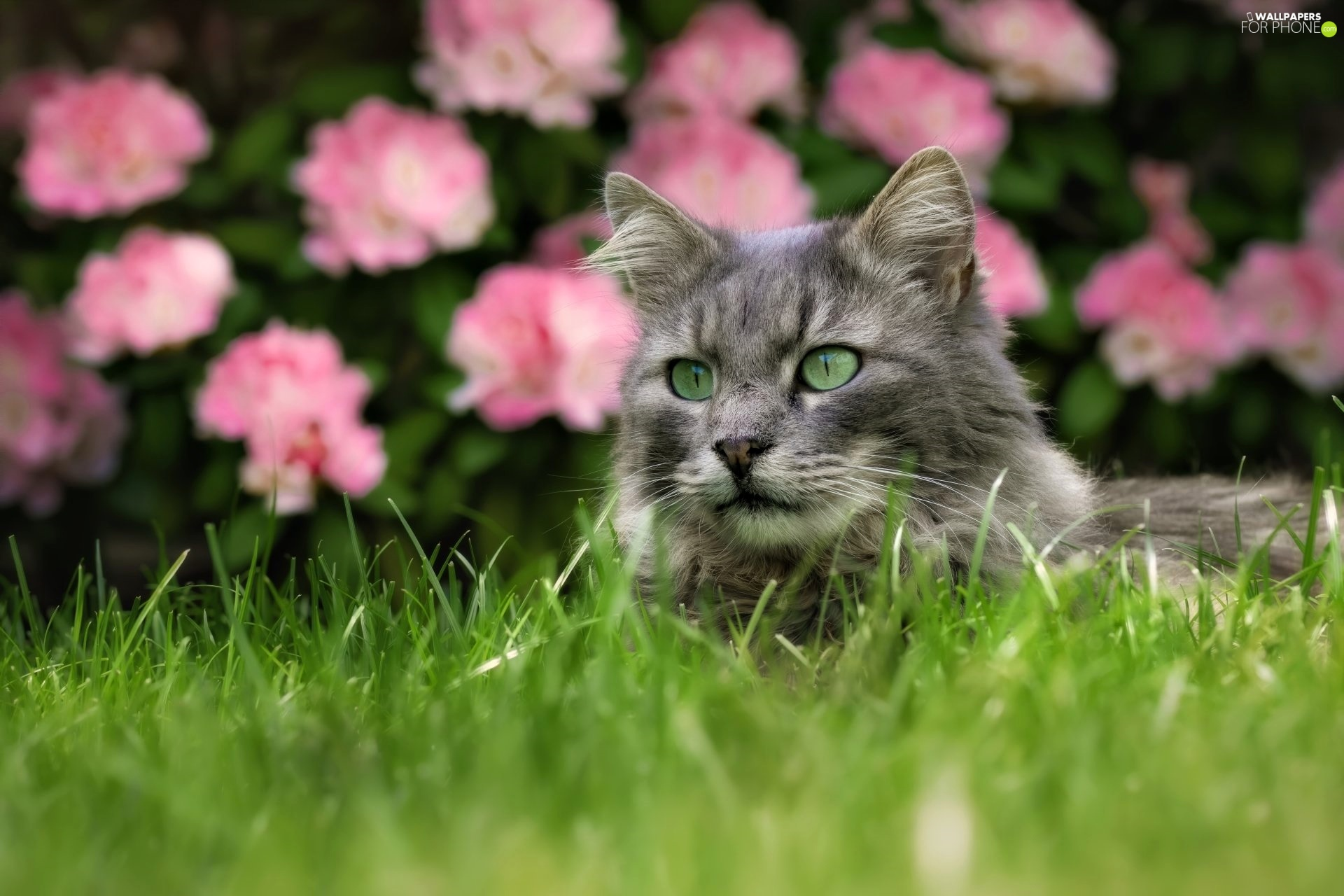 Flowers, blurry background, cat, grass, Gray