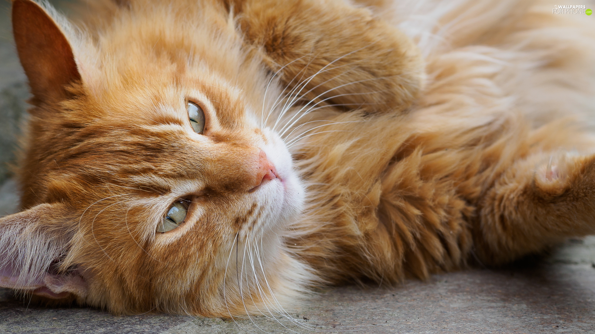 cat, ginger, Longhaired