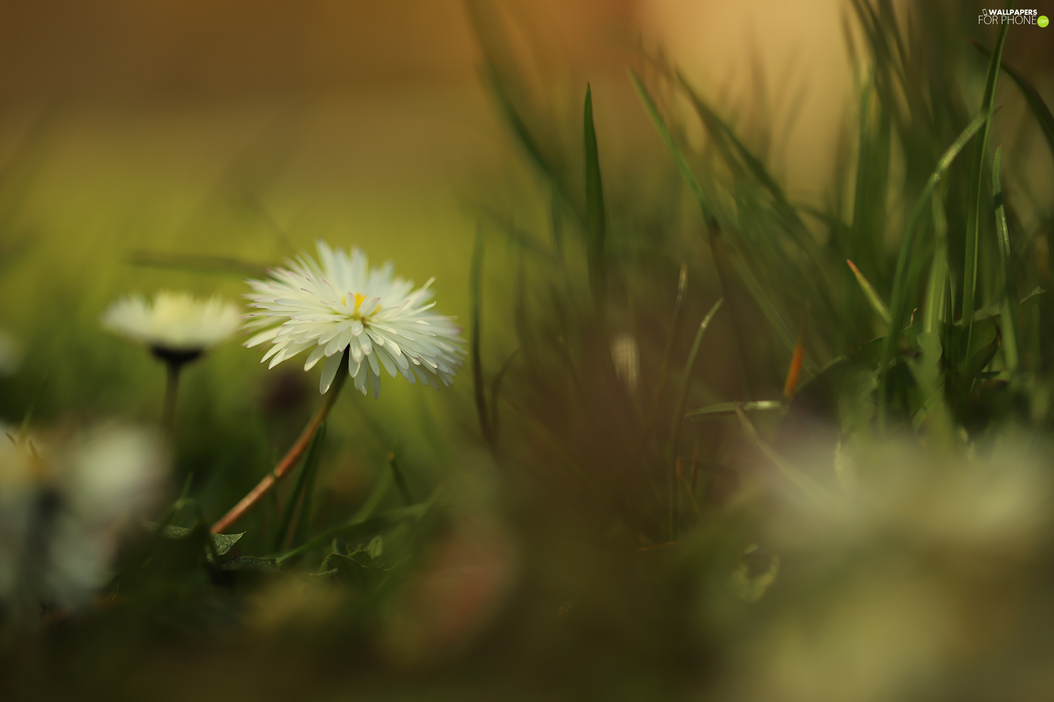rapprochement, grass, White, Colourfull Flowers, daisy