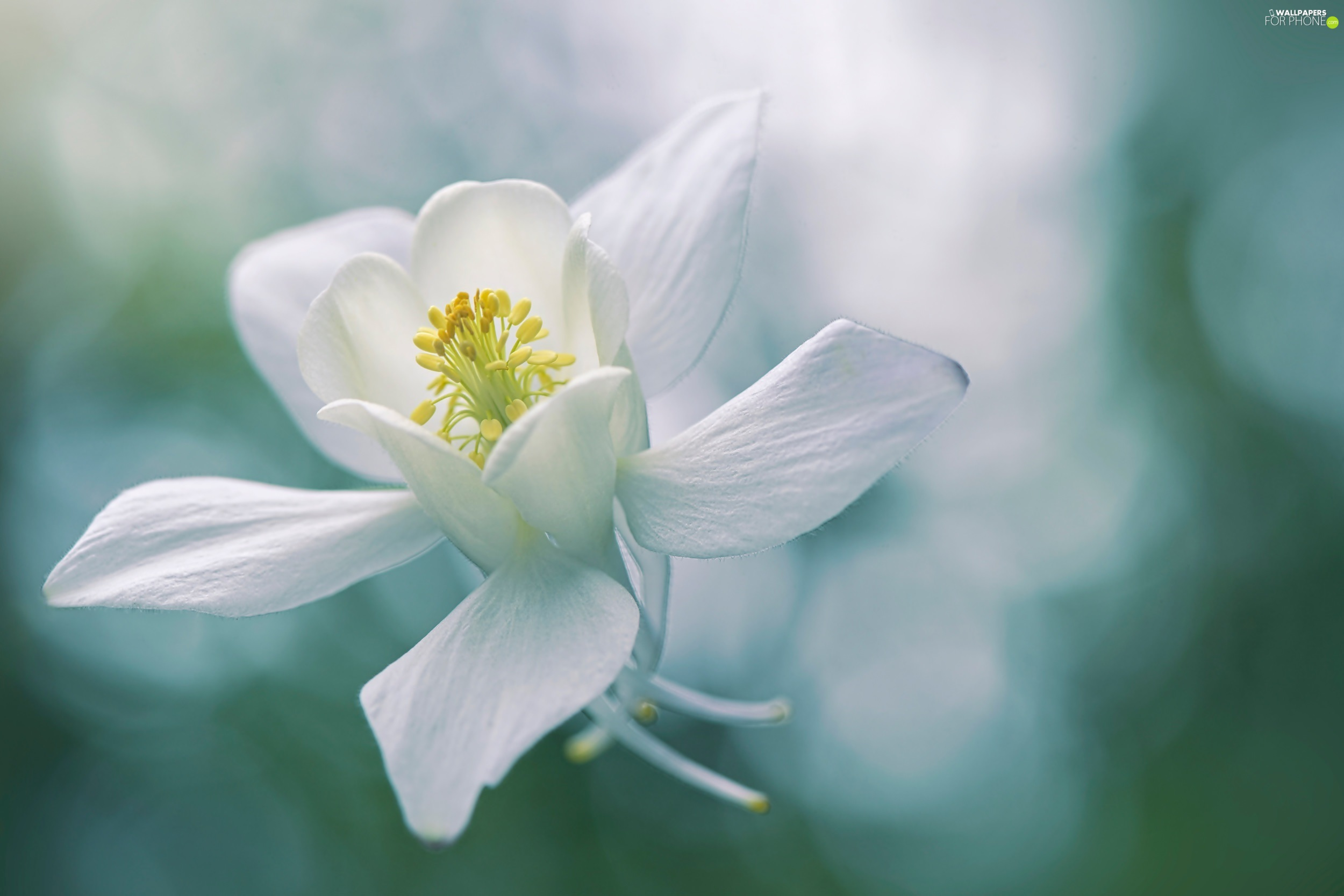 White, columbine, rapprochement, Colourfull Flowers