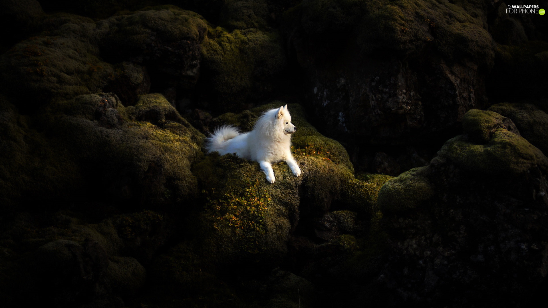 White, Samojed, rocks, dog