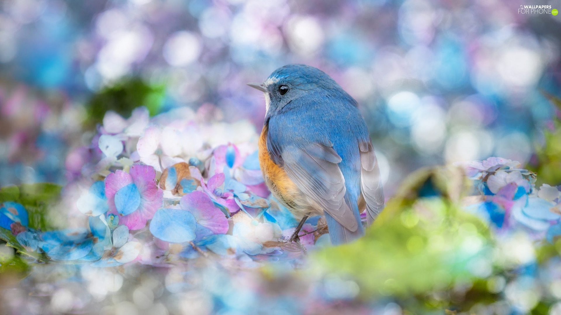 hydrangea, blur, Red-flanked Bluetail, Flowers, Bird