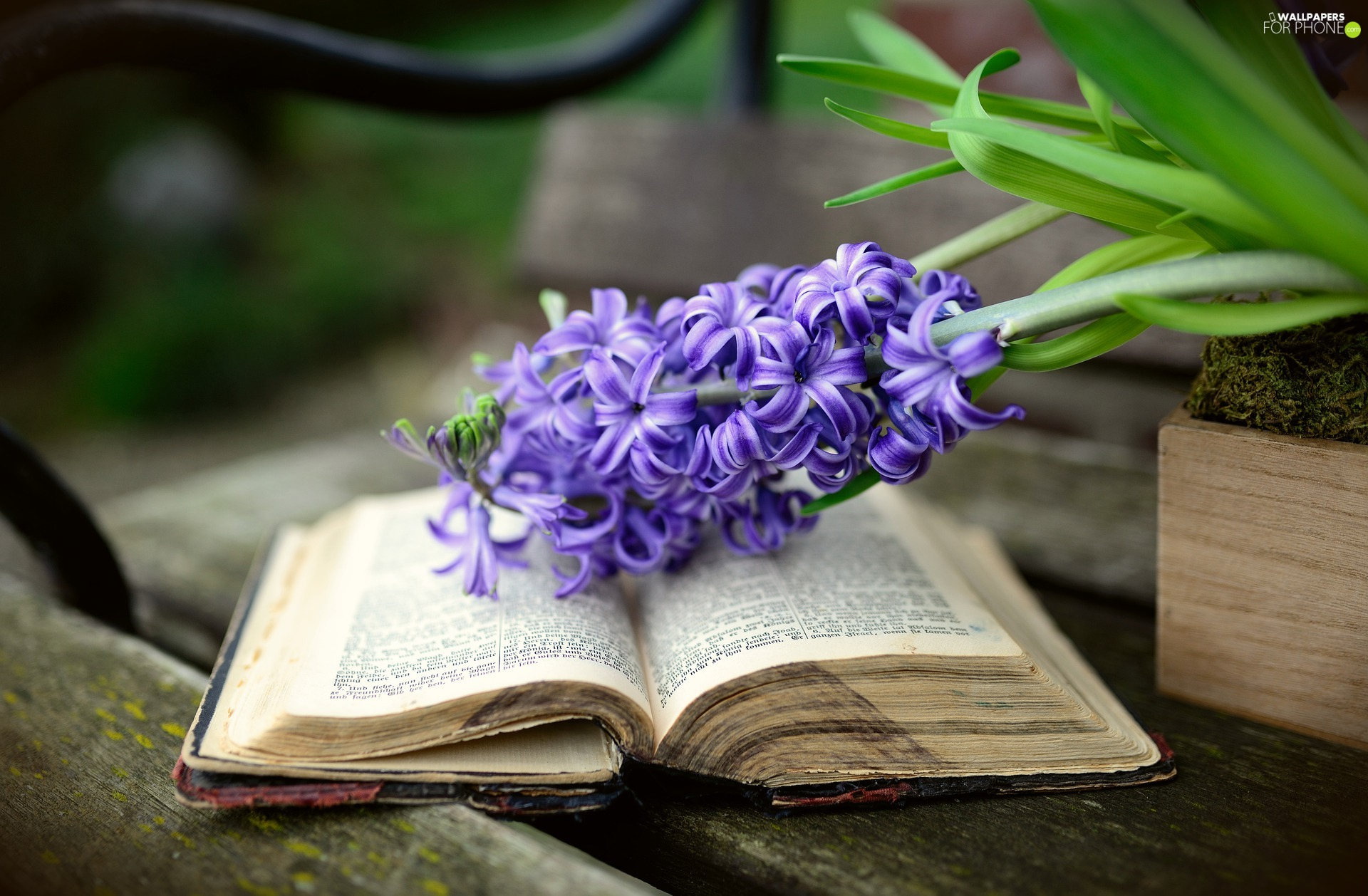 Colourfull Flowers, hyacinth, Book, Violet