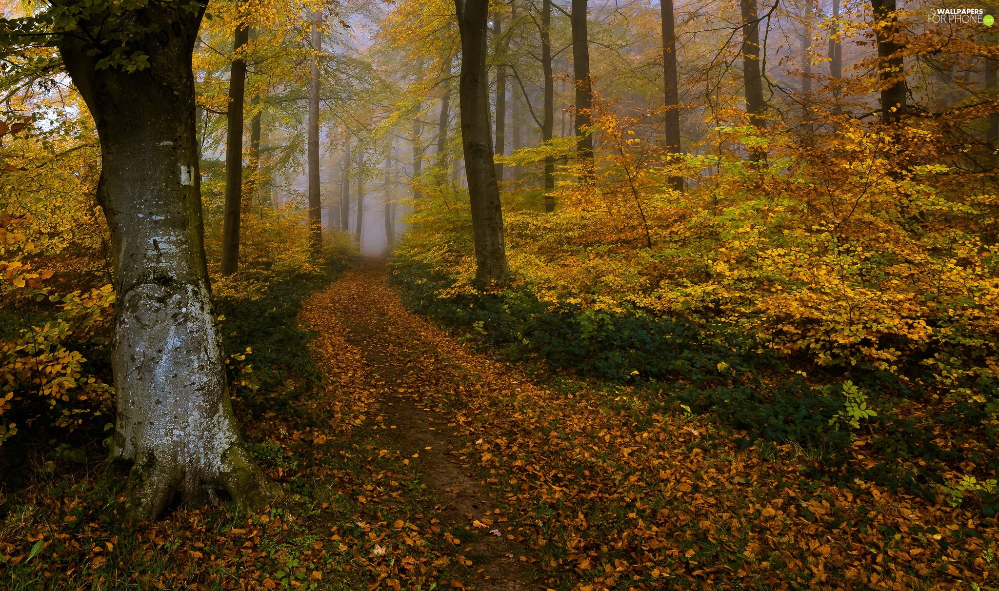 leaved, Fog, viewes, forest, autumn, trees, Way