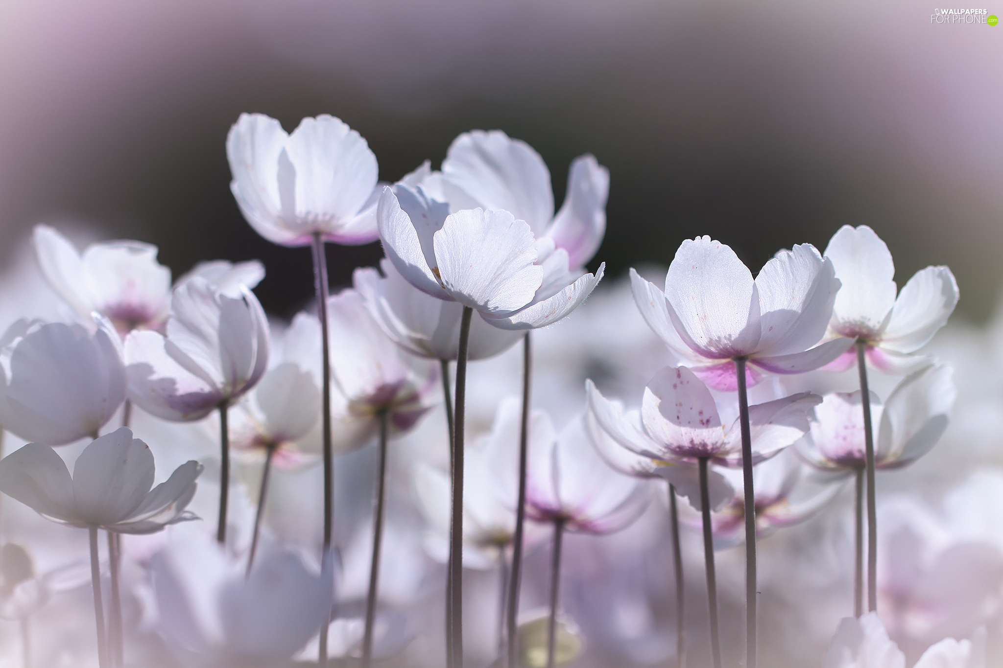 White, forester, Flowers, Poppy Anemone