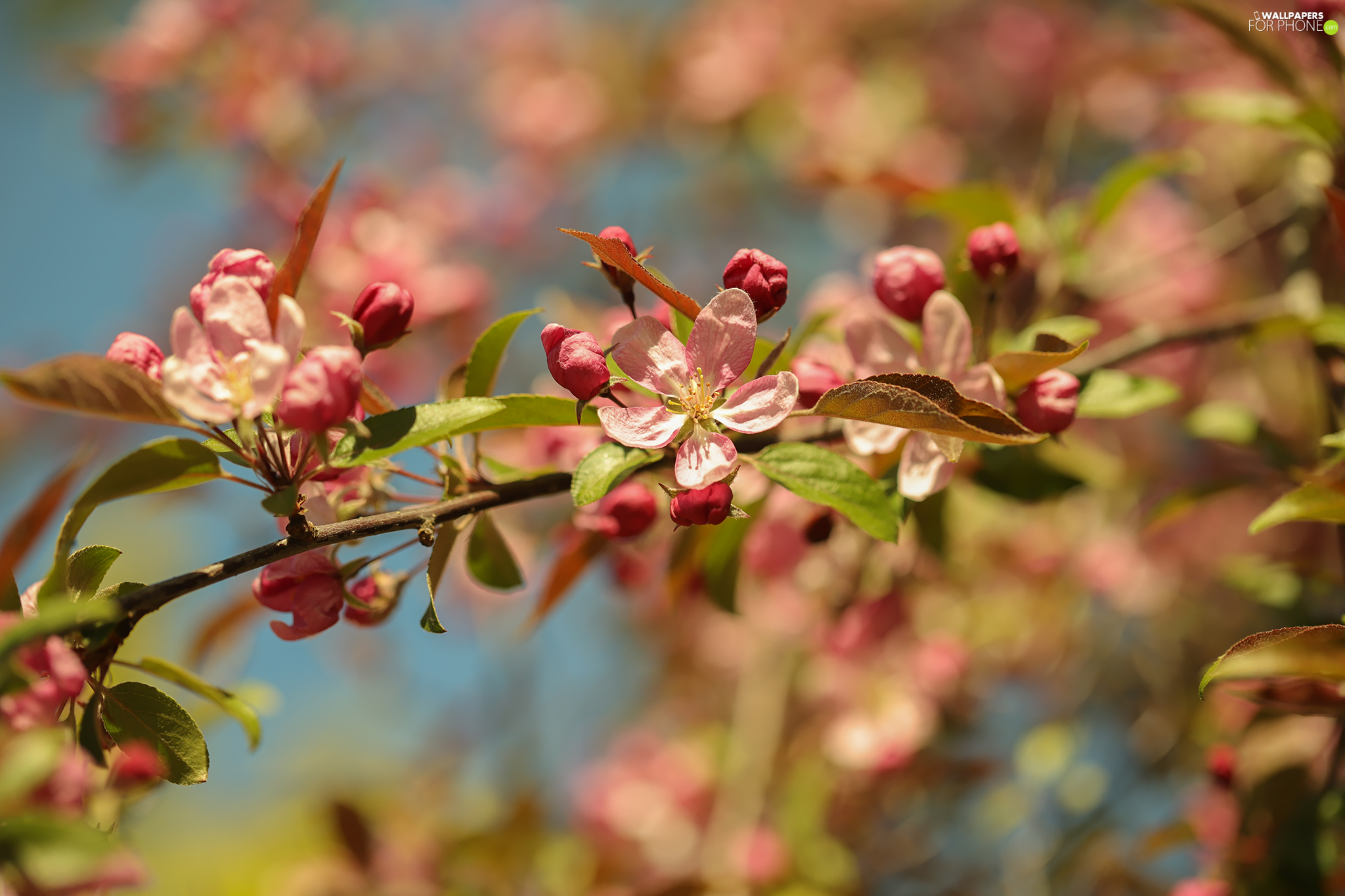 Pink, Blossoming, Flowers, Fruit Tree, Buds, twig