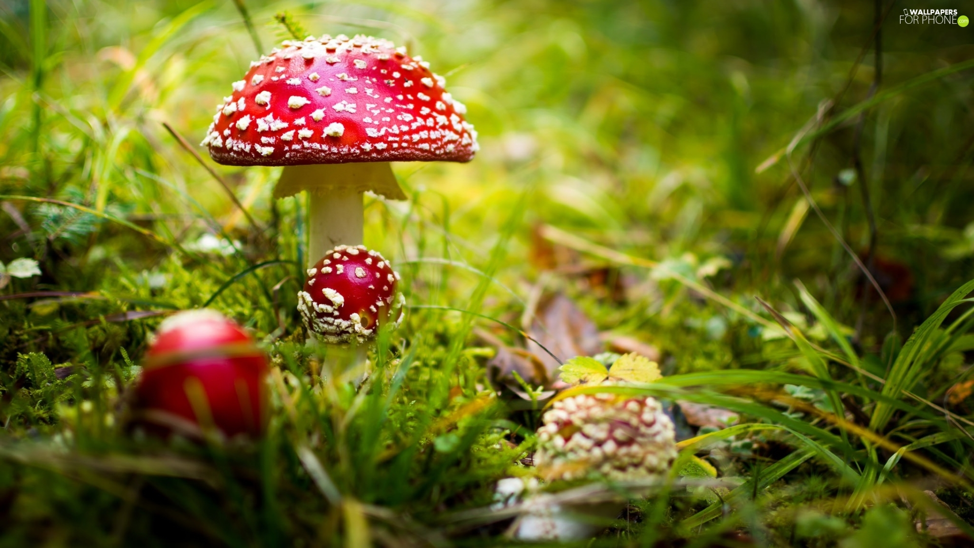 Moss, mushrooms, fuzzy, background, grass, toadstools