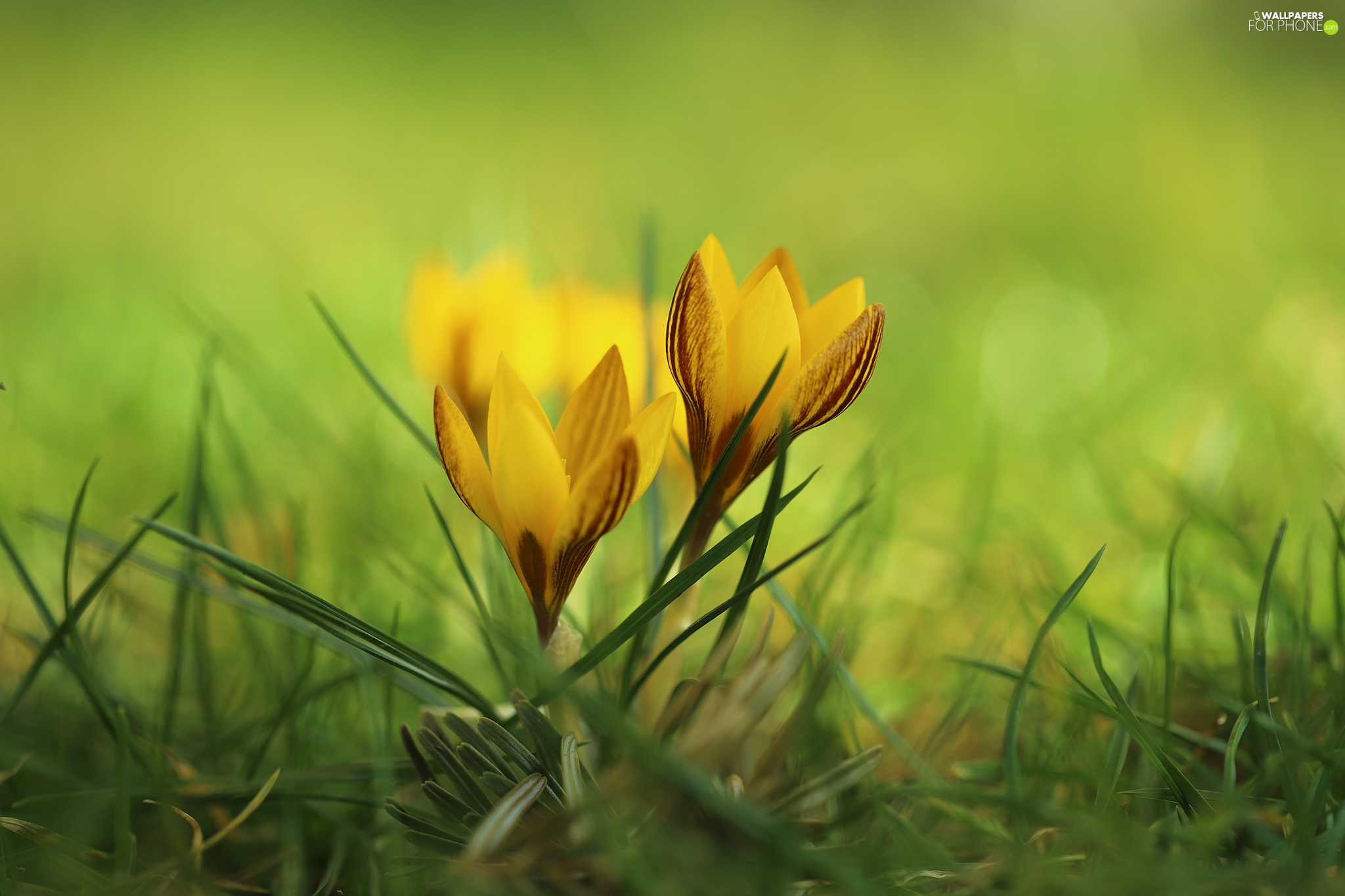 Green, grass, crocuses, Flowers, Yellow