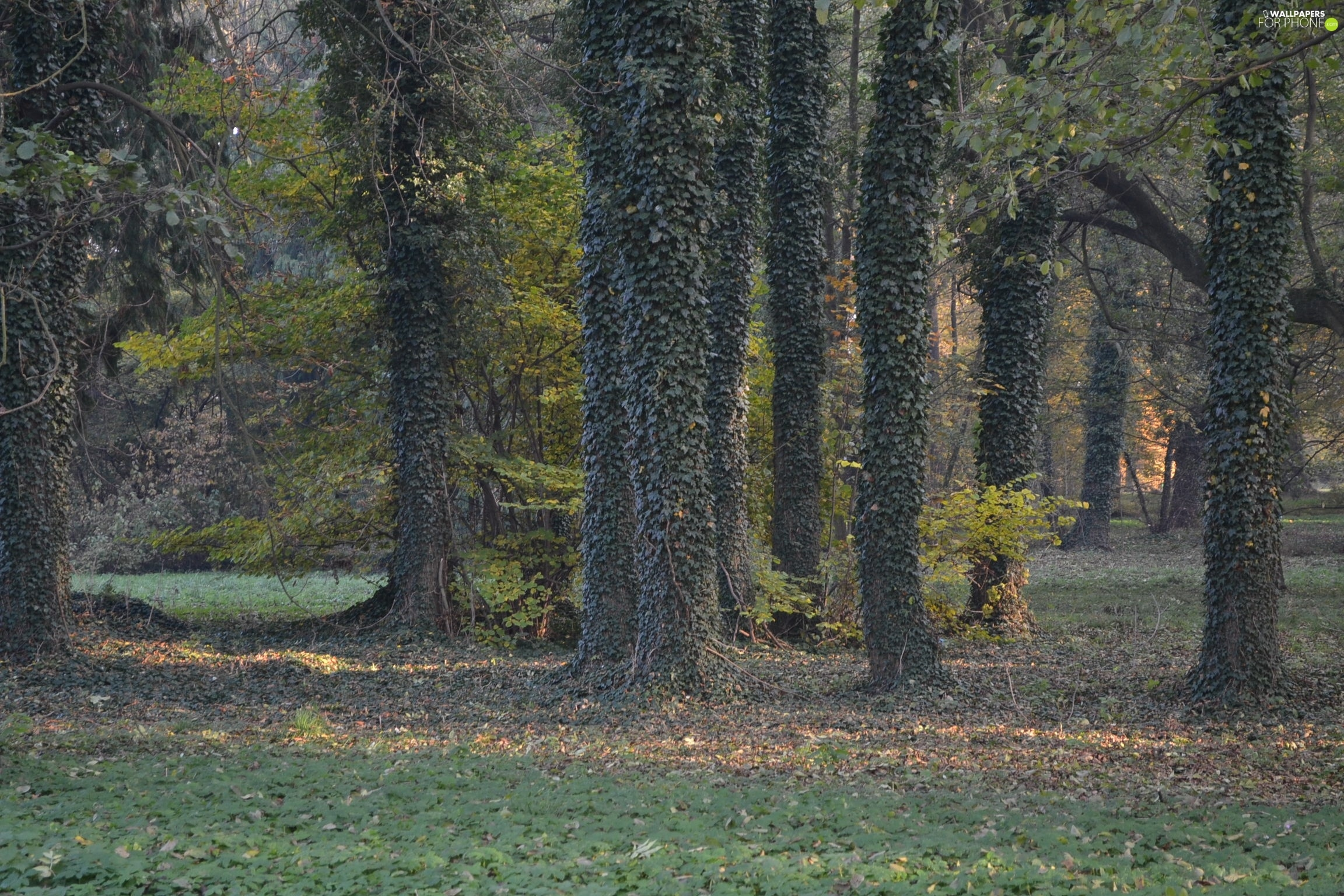 Wooded, trees, grass, Leaf, ivy, viewes
