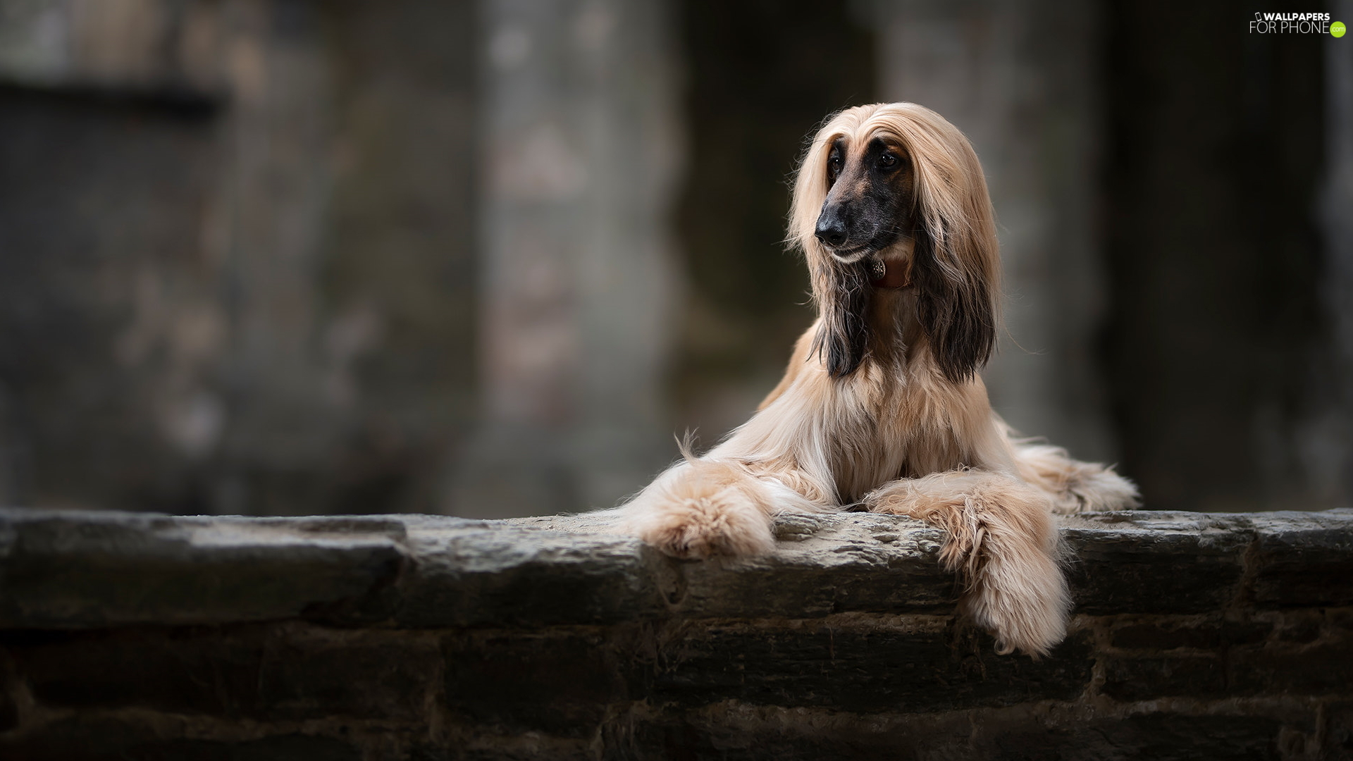 ledge, dog, Afghan Hound