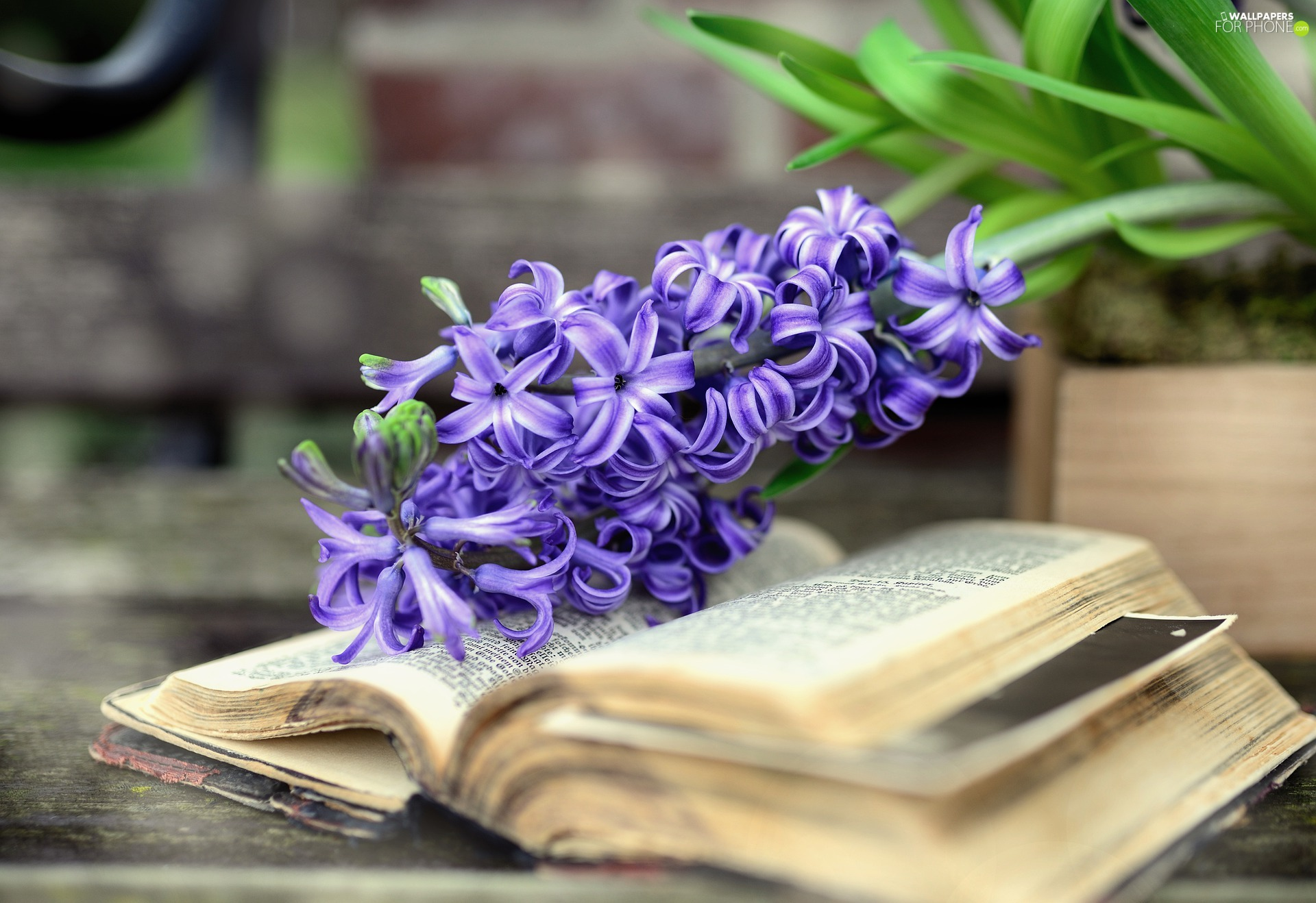 Book, Colourfull Flowers, hyacinth