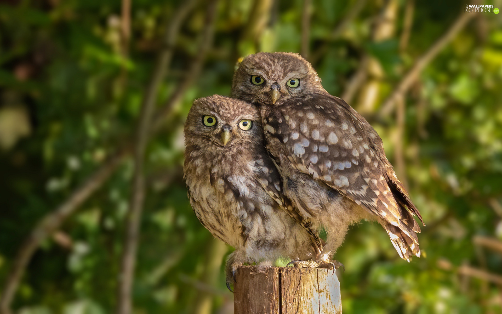 Two, Little Owl, snag, Owls